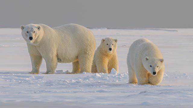 Tres osos caminando por el ártico