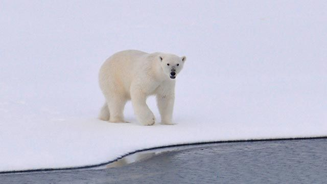 Oso polar acechando por la nieve