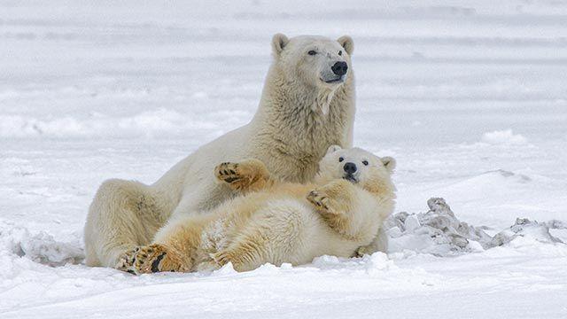 Dos osos polares tumbados sobre la nieve