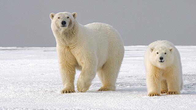 Madre oso con su cría caminando por el ártico