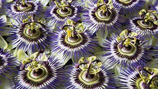 Pasionaria, planta medicinal sedante e hipotensora - Cultivo