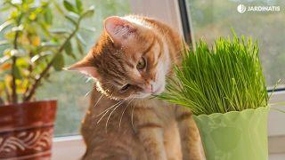 Hierba para gatos germinada