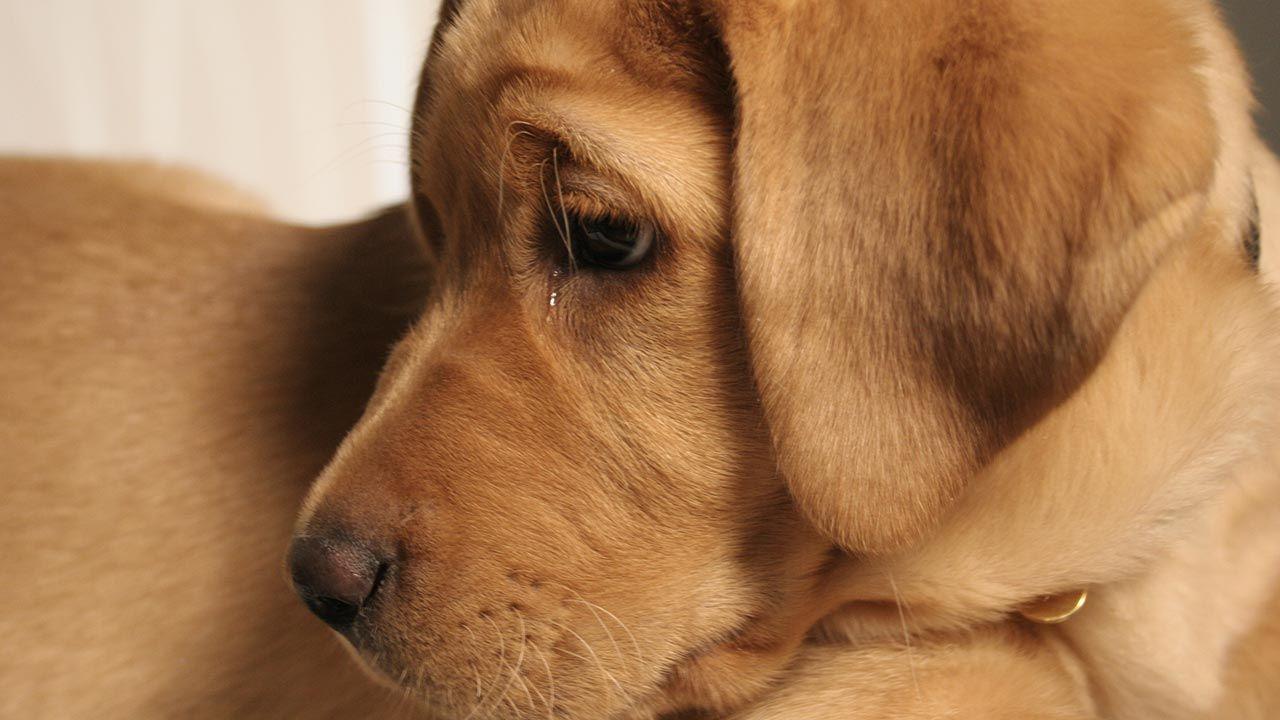 Cachorro con lágrimas en los ojos