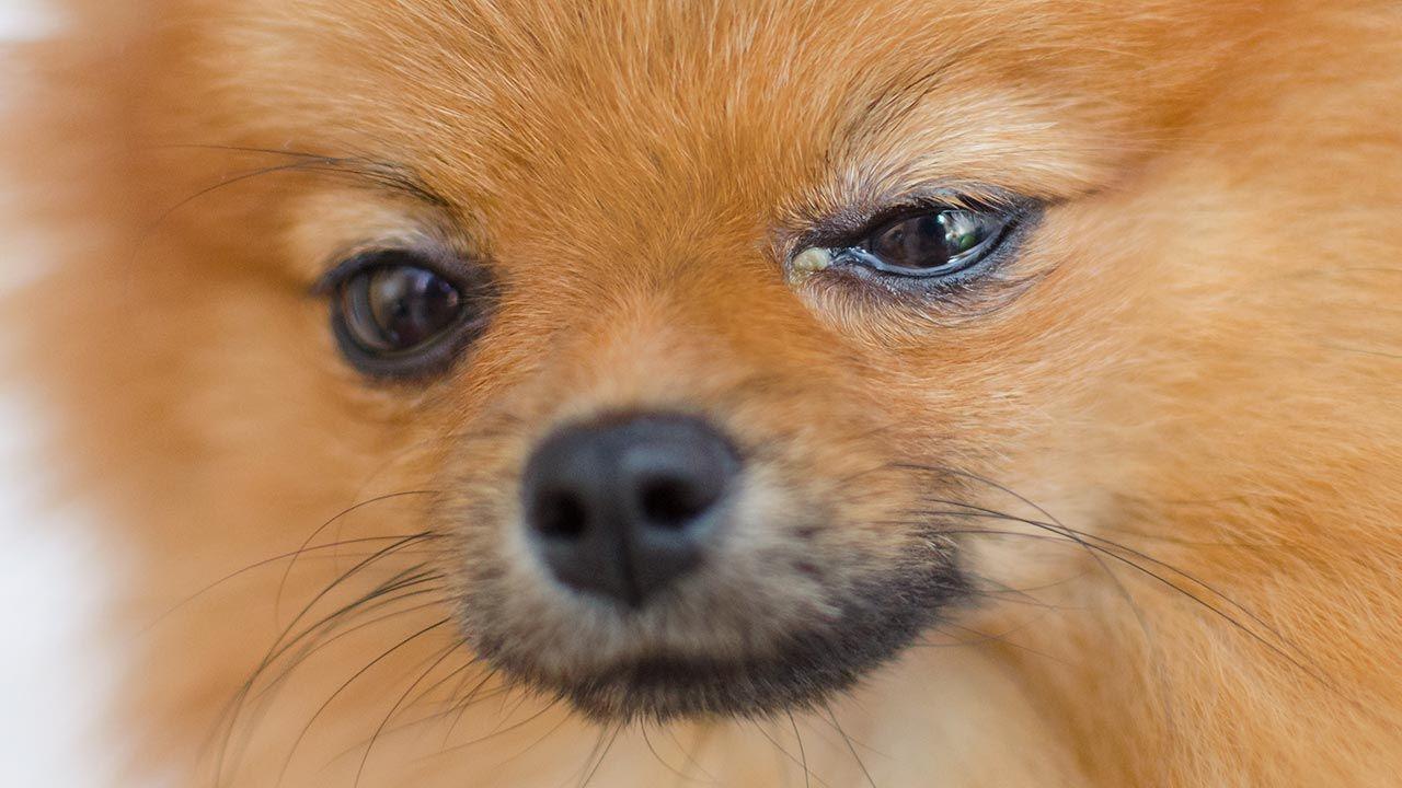 Perro con los ojos llorosos