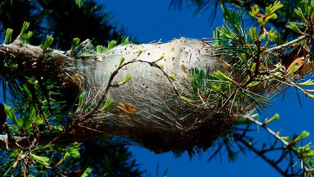 Nido entre pinos de orugas procesionarias