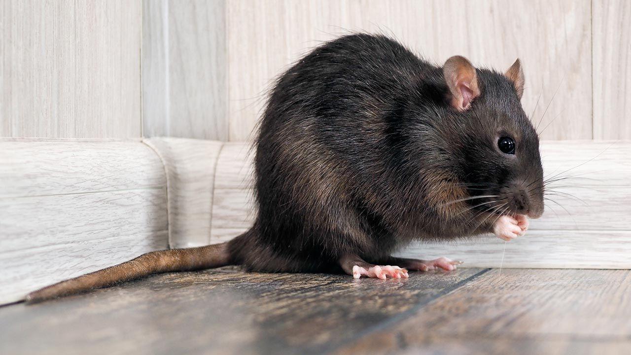 La rata negra en suelo de madera