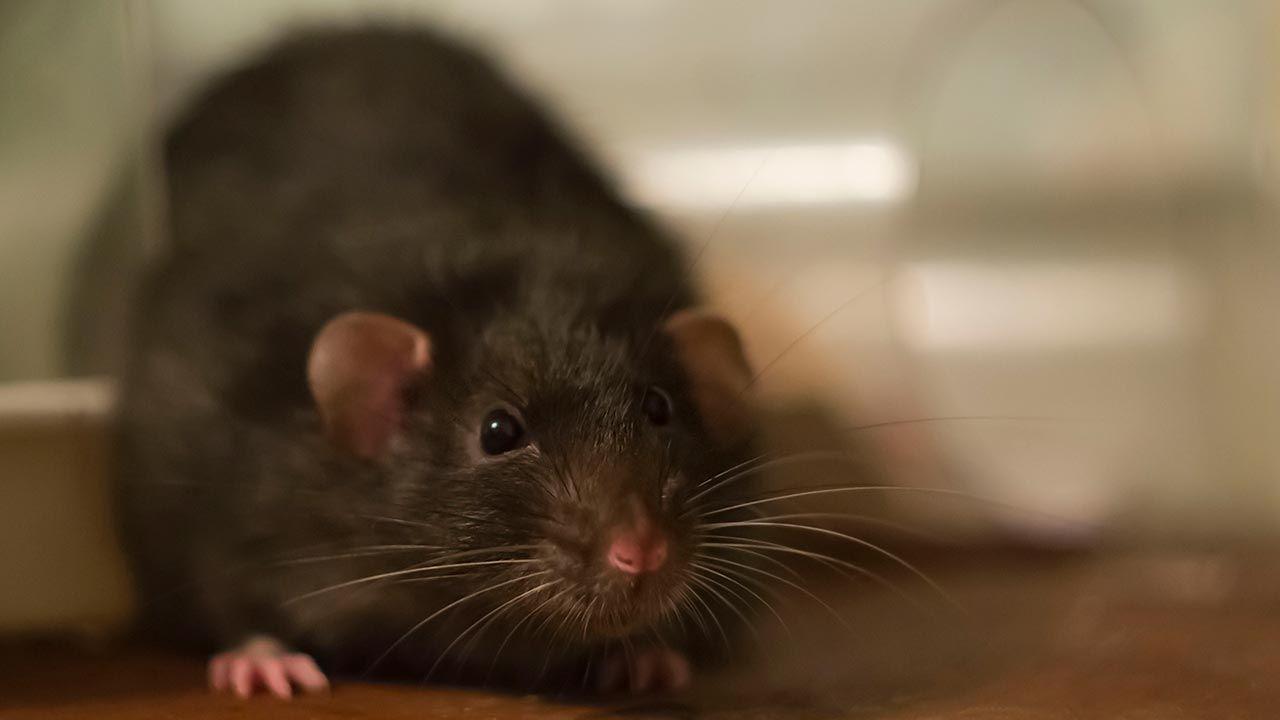 La rata negra mirando de frente