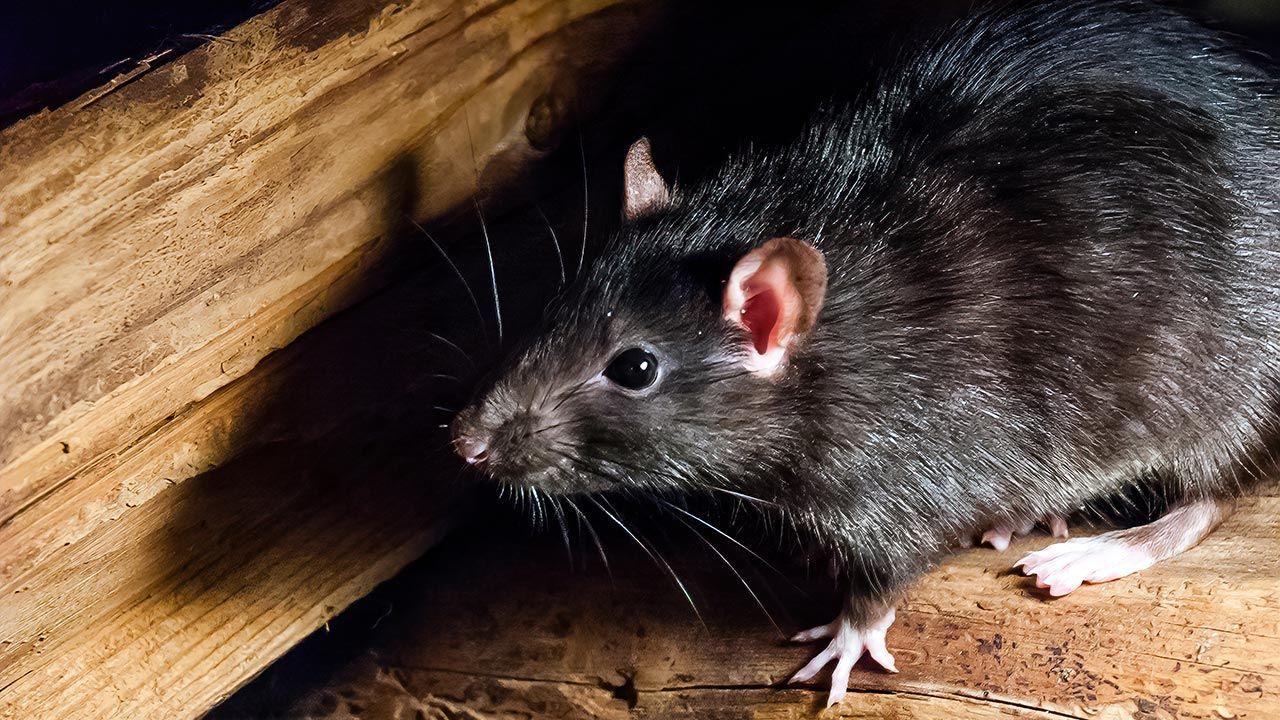 Rata negra acurrucada