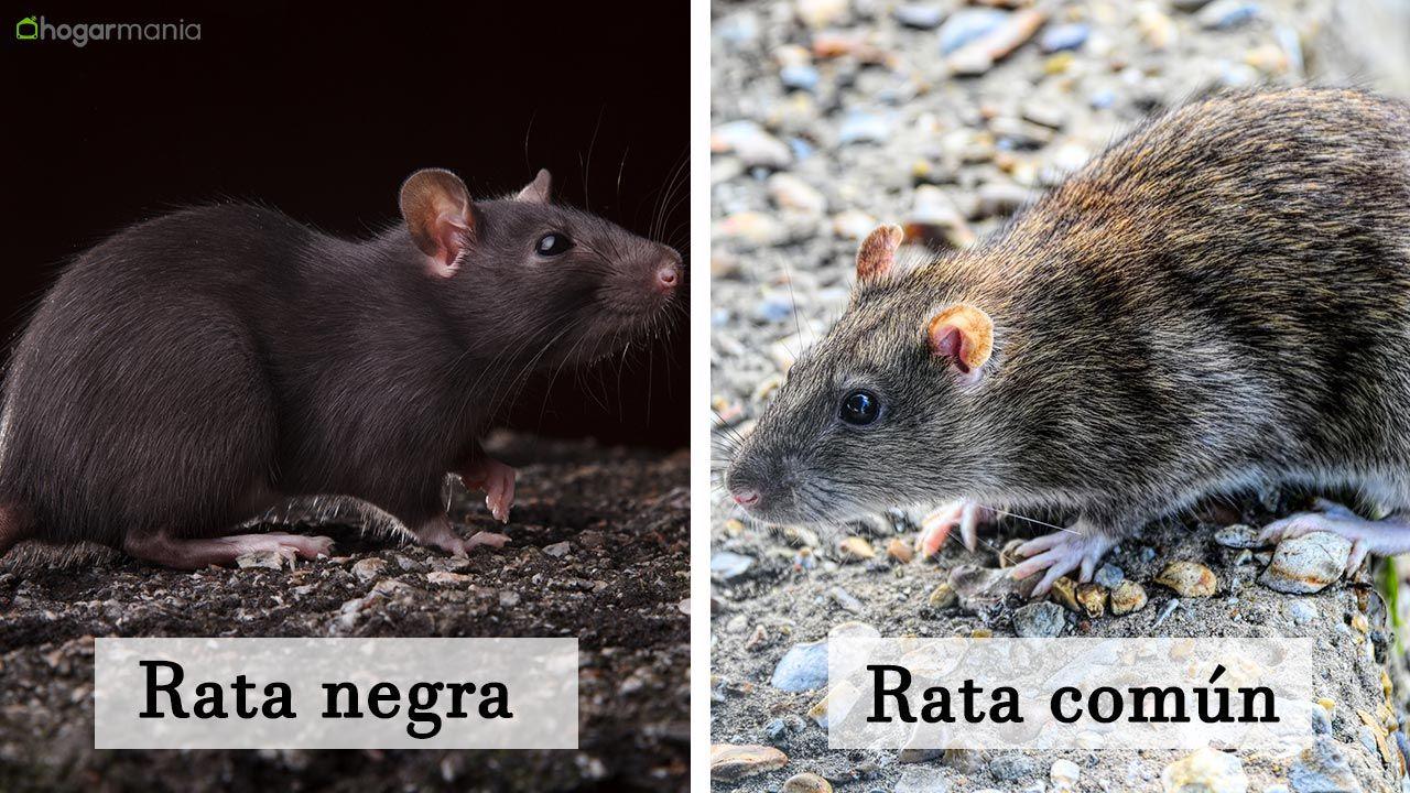 Diferencias entre rata negra y rata común