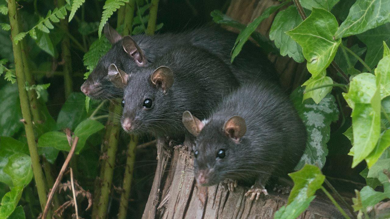 3 ratas negras sobre el tronco de un árbol