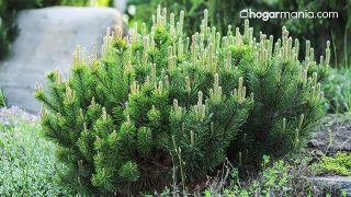 Purificador de aire casero de plantas silvestres - Pino