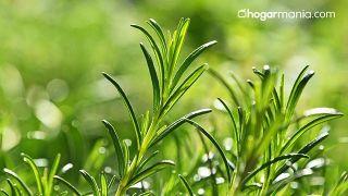Purificador de aire casero de plantas silvestres - Romero