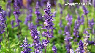 Purificador de aire casero de plantas silvestres - Salvia