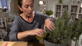 Aceite de oliva para el mantenimiento de la lavanda