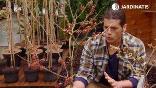 Hamamelis Virginiana, arbusto de flor