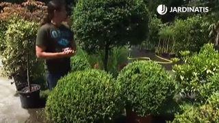 Arbustos para arte topiario