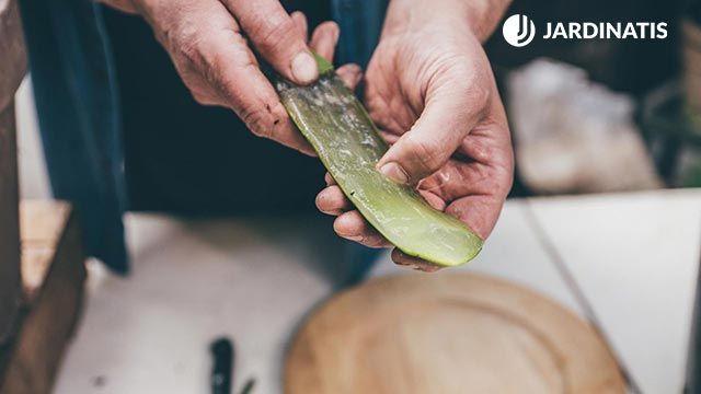 Beneficios de tener aloe vera en la cocina
