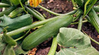 Cómo cultivar calabacines