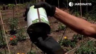 ¿Cómo se utiliza el azufre en polvo en las tomateras?