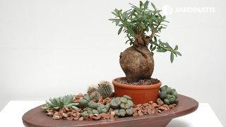 Composición con cactus piedra y rosal del desierto