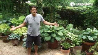 Plantas de sombra: hostas o hermosas