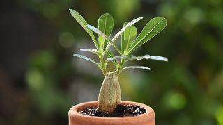 crecimiento lento del Adenium obesum