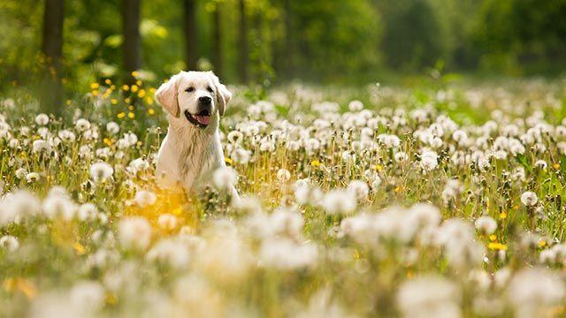Perro entre un campo de flores