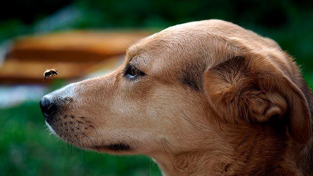 Abeja volando alrededor de un perro