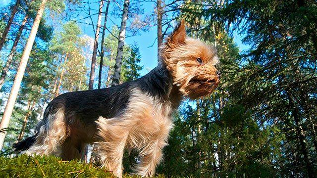Perro paseando entre pinares