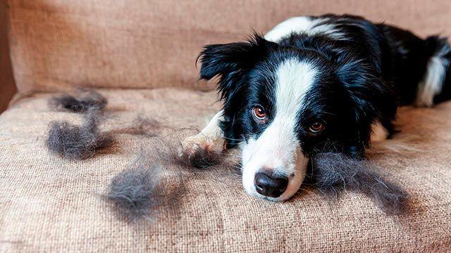Perro llenando el sofá de pelos