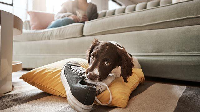 Cachorro mordiendo una zapatilla