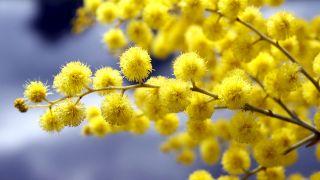 floración de la mimosa o Acacia dealbata