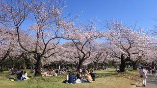 Picnics bajo los cerezos en flor