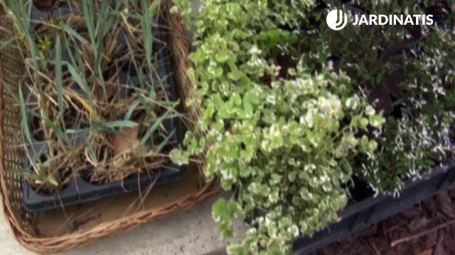 Glechoma hederácea variegata