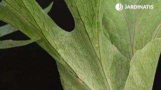 Pelos de las hojas del cuerno de alce