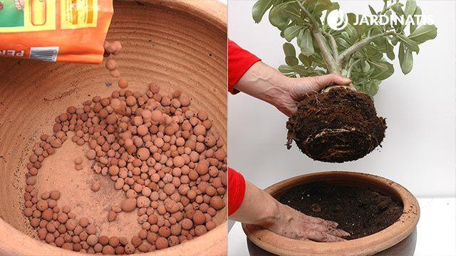 Cómo plantar la rosa del desierto (paso a paso)