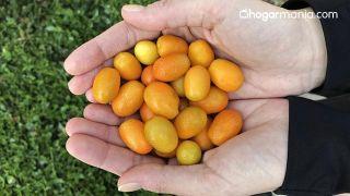 Kumquat: qué es y cuáles son sus beneficios para la salud - Características