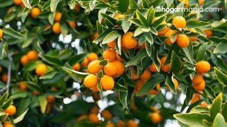Kumquat: qué es y cuáles son sus beneficios para la salud - árbol
