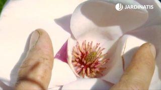 """Magnolia soulangeanas """"Rose"""""""
