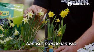 Variedades de narcisos