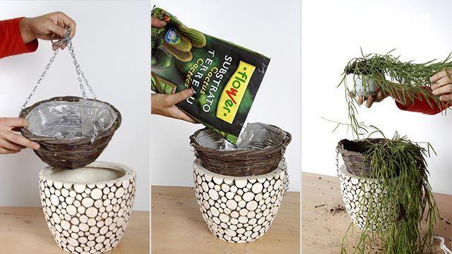 Plantación de hoya linearis en cestos colgantes