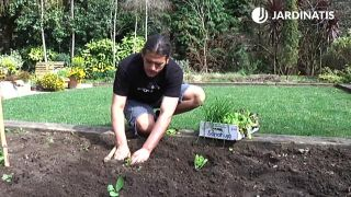 Plantar acelgas en la huerta