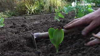 Plantar calabacines en la huerta