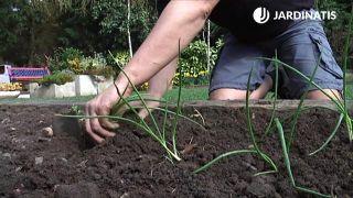Plantar cebolletas en la huerta