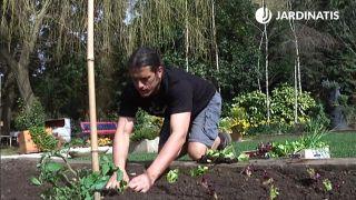 Plantar lechugas y cogollos de tudela en la huerta