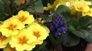 Plantación de limonero junto a jacintos y prímulas obcónicas