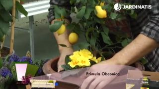 Cómo plantar un limonero en maceta
