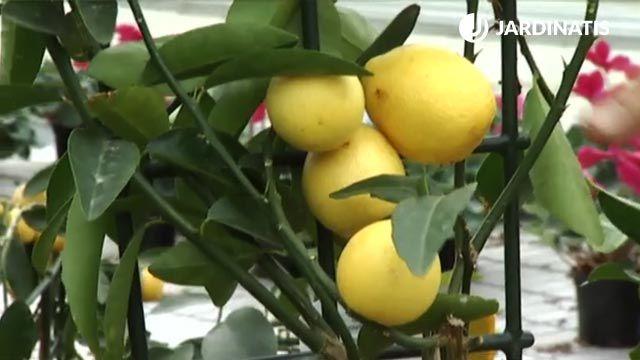 plantar un limonero en maceta