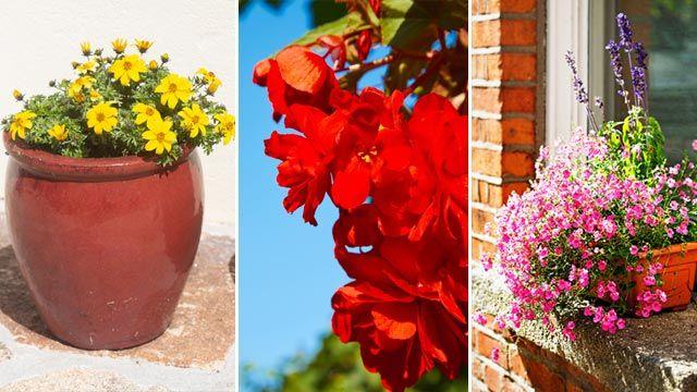 Plantas colgantes: begonia tuberosa, bidens, diascias