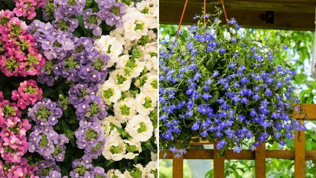 Plantas colgantes: lobelia y nemesia